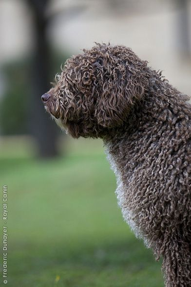 Spanish Water Dog, I met one at my old job named Rio, they are so sweet!!!!