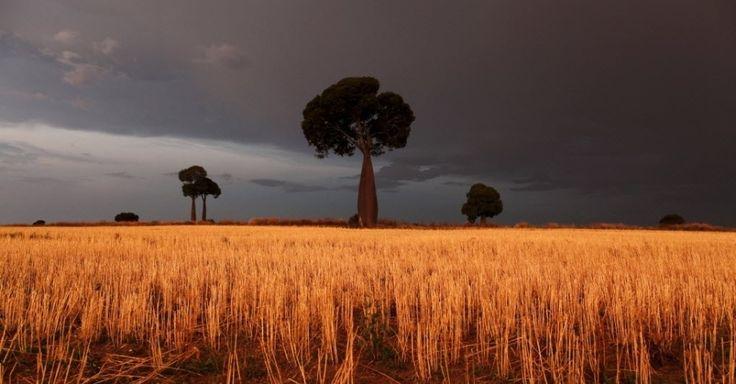 Trigo ilumina a paisagem em meio a nuvens de tempestade em uma propriedade agrícola ao oeste de Brisbane, na Austrália