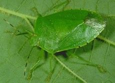 Google Image Result for http://www.uky.edu/Ag/CritterFiles/casefile/insects/bugs/stinkbugs/green.jpg