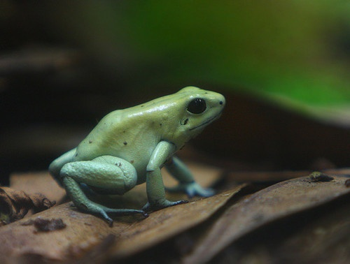1000+ images about Phyllobates terribilis, Golden poison ... Green Poisonous Frogs