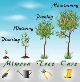 Steps for mimosa tree care