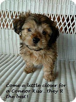 Chandler, AZ - Schnauzer (Miniature)/Corgi Mix. Meet connor, a puppy for adoption. http://www.adoptapet.com/pet/15295338-chandler-arizona-schnauzer-miniature-mix