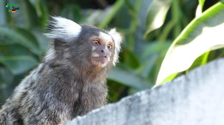 Common marmoset Weißbüschelaffe,Soin (Callithrix jacchus) The common marmoset (Callithrix jacchus) is a New World monkey. It originally lived on the northeastern coast of Brazil, in the states of Piaui, Paraiba, Ceará, #caucaia #ceara #brasilien #brazil #fauna #animals #monkey #picofday #caatinga #affen #tiere #wanderlust #cearaentdecken #descubraceara #visitbrazil #animals