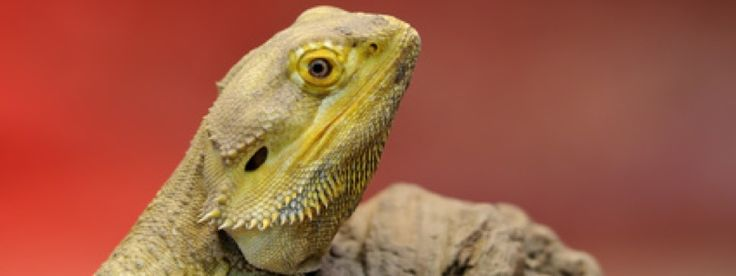 The Costs of Keeping a Bearded Dragon – If you are interested in owning a bearded dragon one of the things you must consider is the costs of keeping a bearded dragon and maintaining its habitat.  Housing costs will probably be the biggest portion …