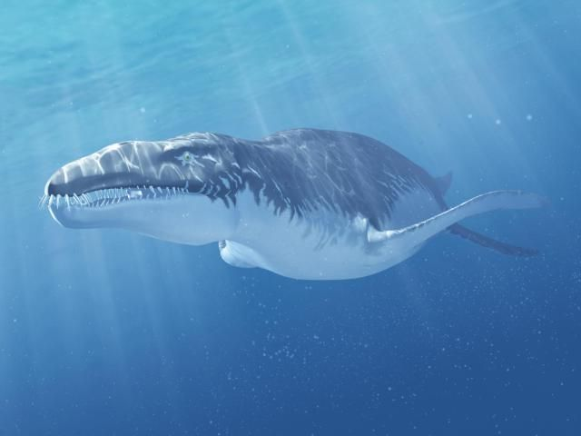 """Name:Liopleurodon (Greek for """"smooth-sided teeth""""); pronounced LIE-oh-PLOOR-oh-donHabitat:Oceans worldwideHistorical Period:Late Jurassic (165-150 million years ago)Size and Weight:About 30 feet long and 10 tonsDiet:Fish and squidsDistinguishing Characteristics:Massive head with numerous sharp teeth; four large flippersLiopleurodon - About.com Marine Reptiles"""