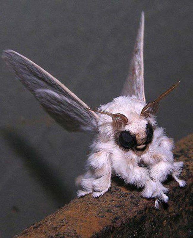 Le Poodle Moth