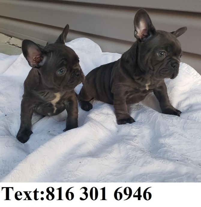 French Bulldog Puppies Available Washington For Sale Virginia Beach Pets Dogs In 2020 Bulldog Puppies French Bulldog Puppies French Bulldog