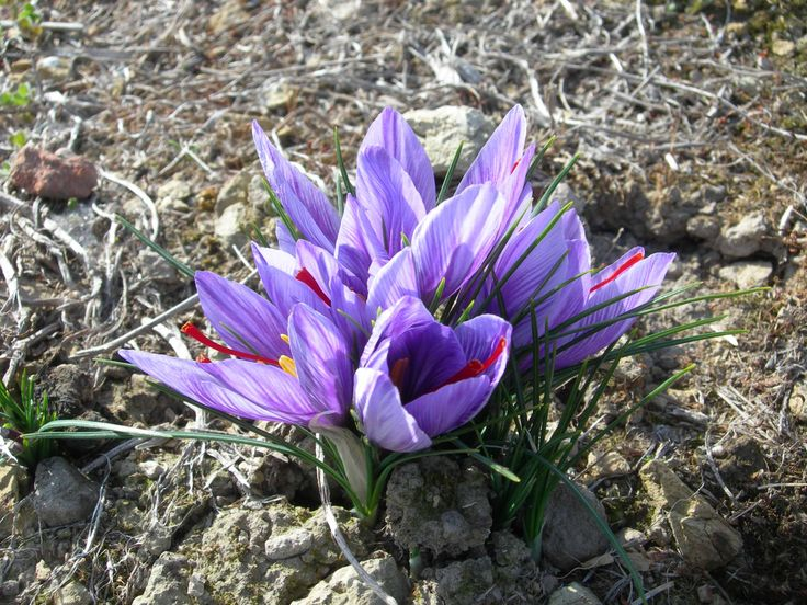 Crocus sativus #saffron flowers at Tas-Saff today. - #McKenzies #flowers #saffronharvest