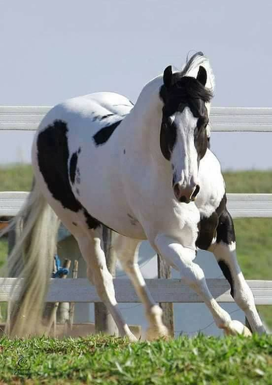 This horse is beautiful! Black and white Paint Horse running in it's field.