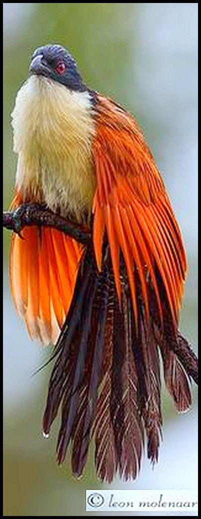 Burchell's Coucal aka The Rainbird | Kruger National Park, South Africa / Photo by Leon Molenaar
