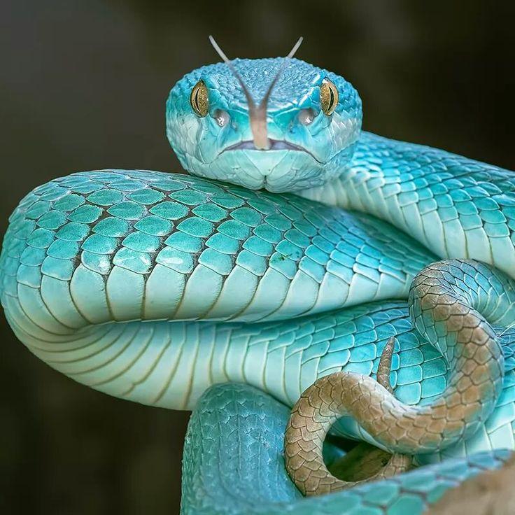 Blue Pit Viper by Aditya Permana | Sssnakesss | Pinterest ...