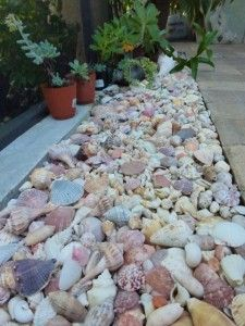 Seashells instead of mulch, I do this in all my house plants. Use to keep the kittys out of the pots and the plants loved what ever came for the beach in the shells.