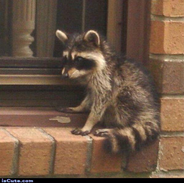 Window Raccooon - Maybe he's a peeping raccoon?