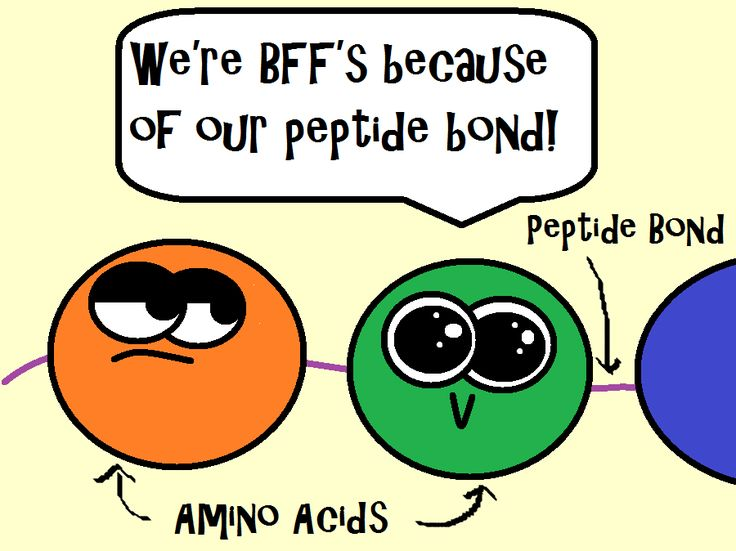 Remember that amino acids are held together by a peptide bond! This is an image from our protein synthesis video! We go over the steps of transcription and translation and the roles that ribosomes, DNA, and RNA play. We also compare and contrast RNA and DNA and explain the three different types of RNA.  Come learn and laugh with the zany Amoeba Sisters! https://www.youtube.com/watch?v=h5mJbP23Buo