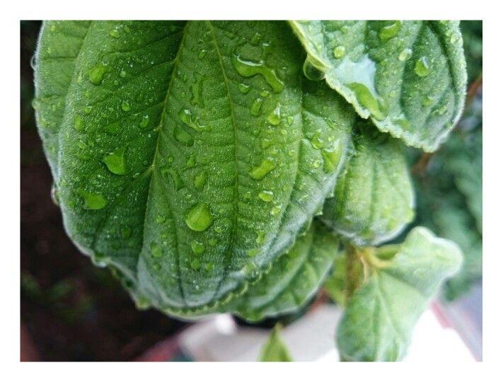 Hairy Leaf × Water