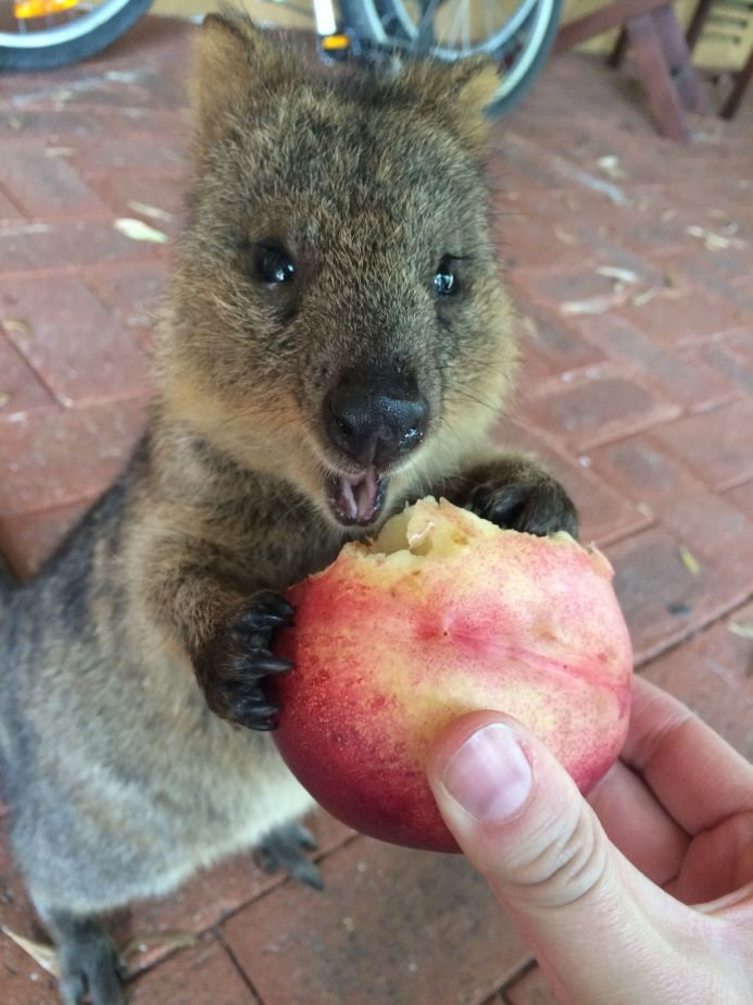 Best Quokkas Images On Pinterest Adorable Animals Funny - 15 photos that prove quokkas are the happiest animals in the world