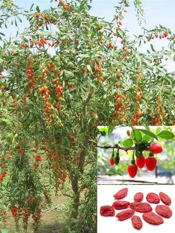 Tsf Goji Berry Shrub Seed From China To Your Yard In 2020