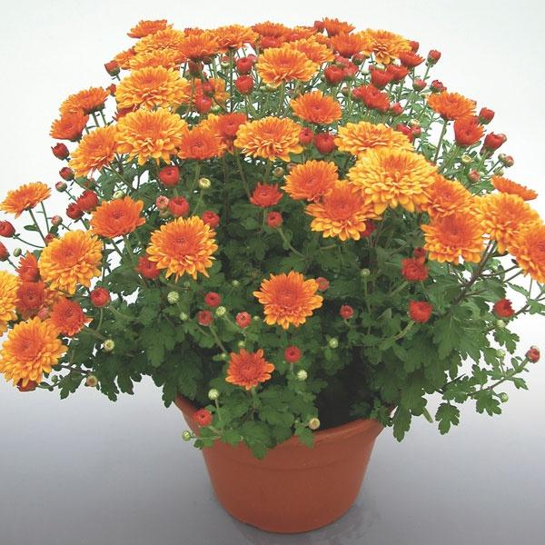 Pot Mum - Chrysanthemum morifolium