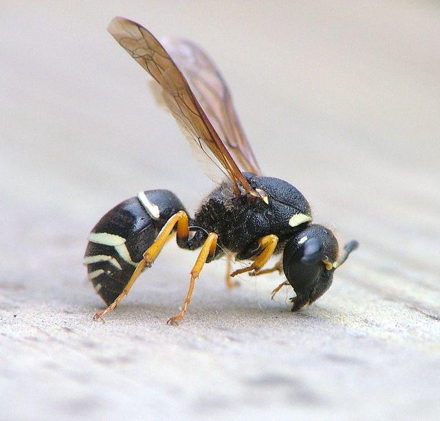 Odynerus simillimus Fen Mason-wasp  female