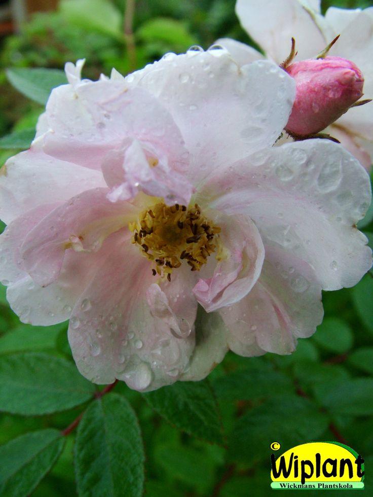 Rosa 'Sointu', Ros. FinE-sort.  Ljusvitrosa halvdubbla blommor i stora klasar.  Blommar juni-juli, återkommer aug-sept.   Höjd: 1-1,2 m.  Anspråkslös beträffande jordmån.  Zon IV.