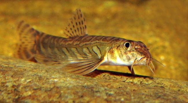 loach mesonoemacheilus triangularis aquarium freshwater freshwater ...