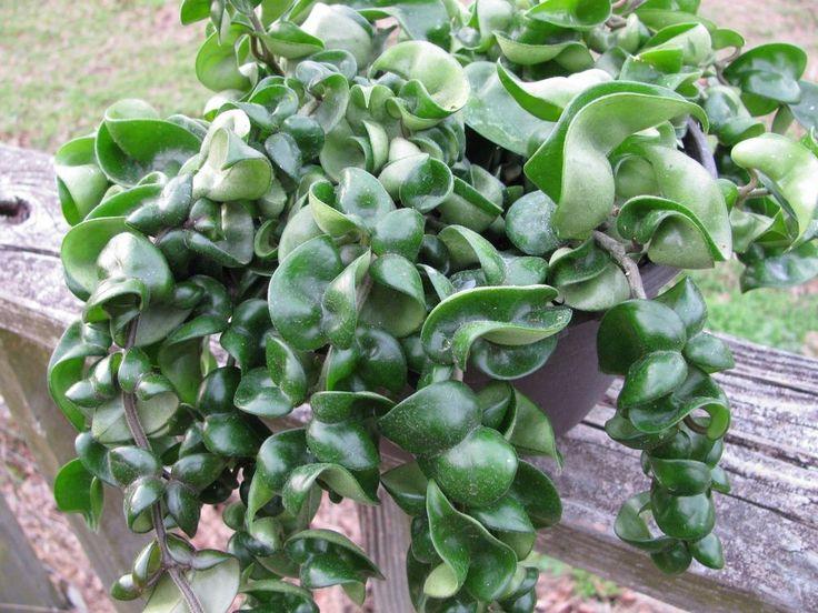 Euphorbia Lactea Cristata Leaves