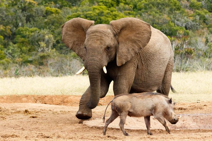 African Bush Elephant my water go away African Bush Elephant my water go away - The African bush elephant is the larger of the two species of African elephant. Both it and the African forest elephant have in the past been classified as a single species.