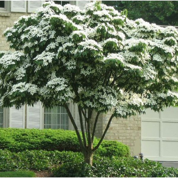 Plant at porch end of front fence as a specimen tree   White Kousa Dogwood