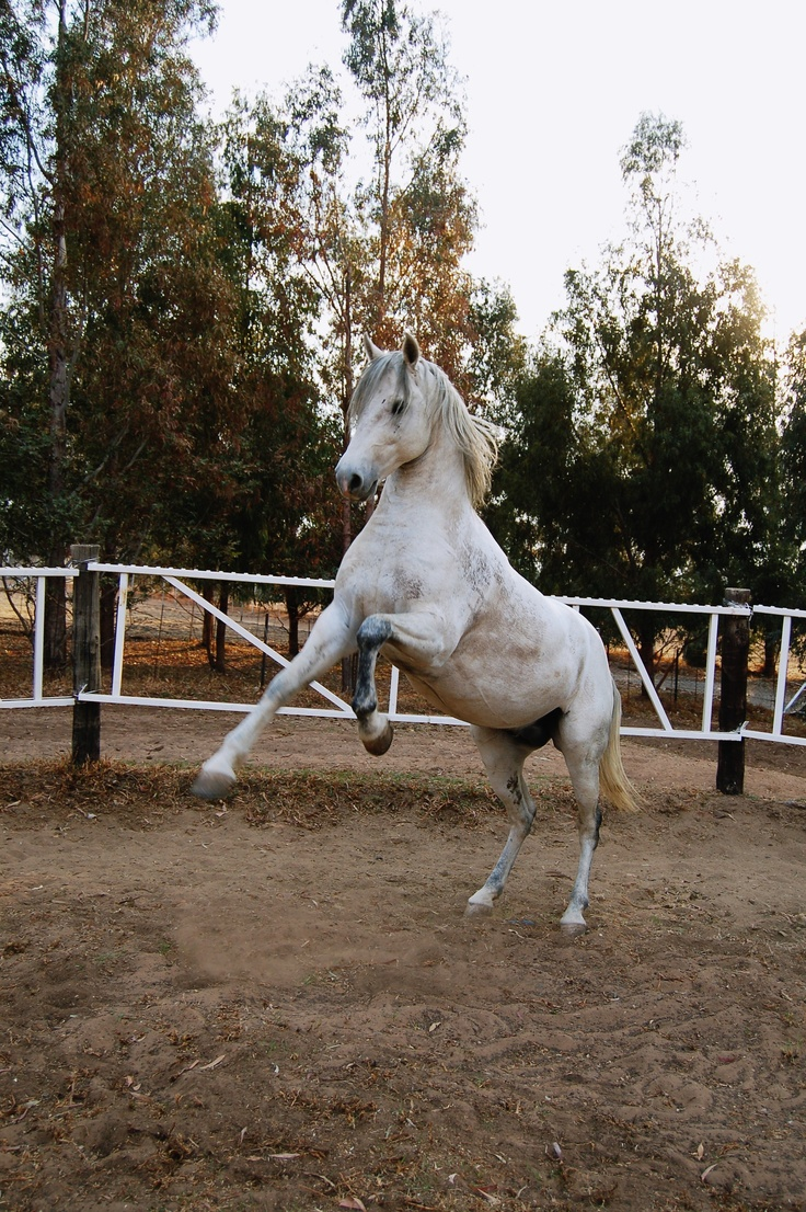 Imperatore horse vans for sale - South African Boerperd Horse