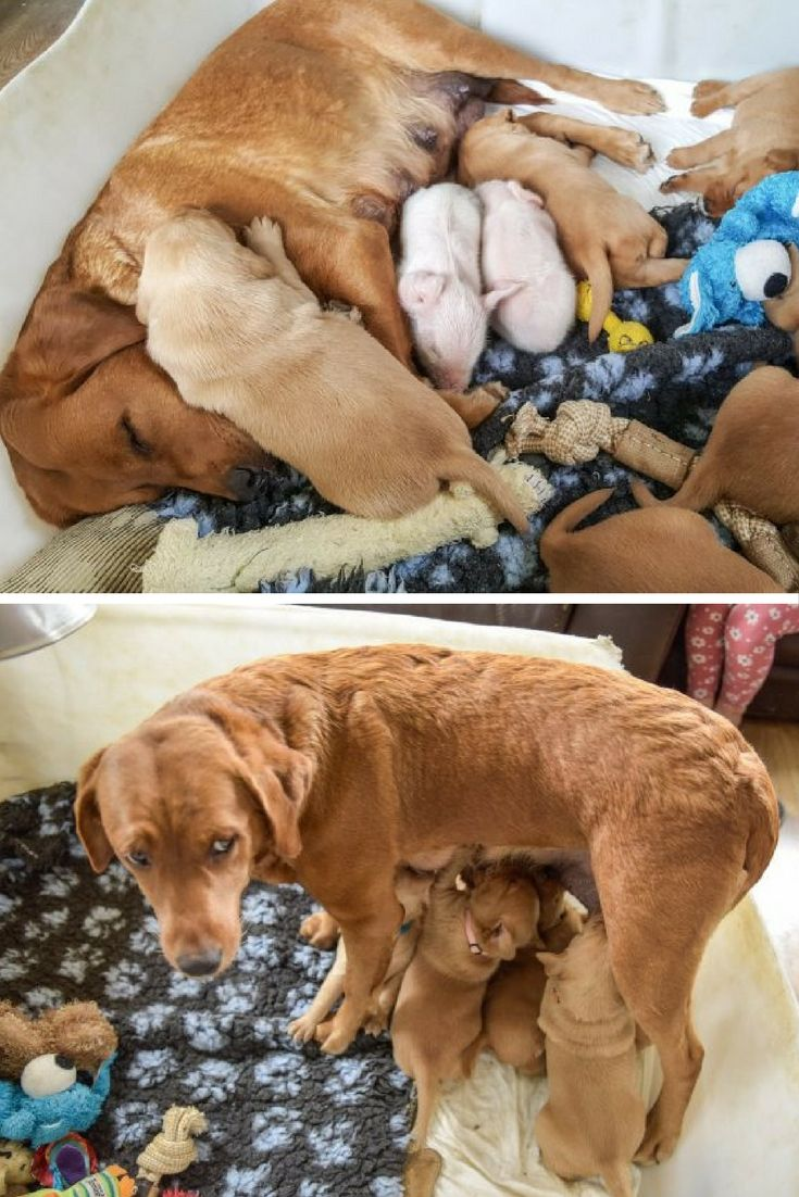 Molly is a Labrador Retriever who's just welcomed a litter of puppies – with two surprise additions.
