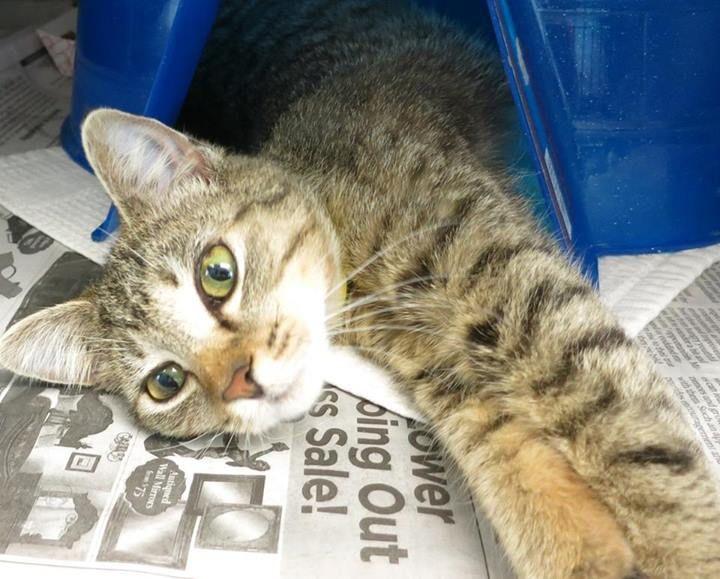 Urgent Cats Urgent Cats Of Tampa Bay Cat Adoption Animal Shelter Cats
