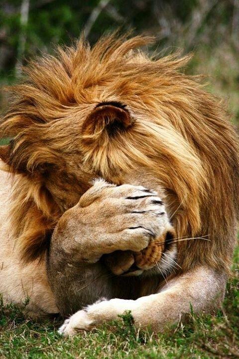 El león está avergonzado. (The lion is embarrassed.)