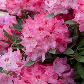 Praktrododendron 'Sneezy'