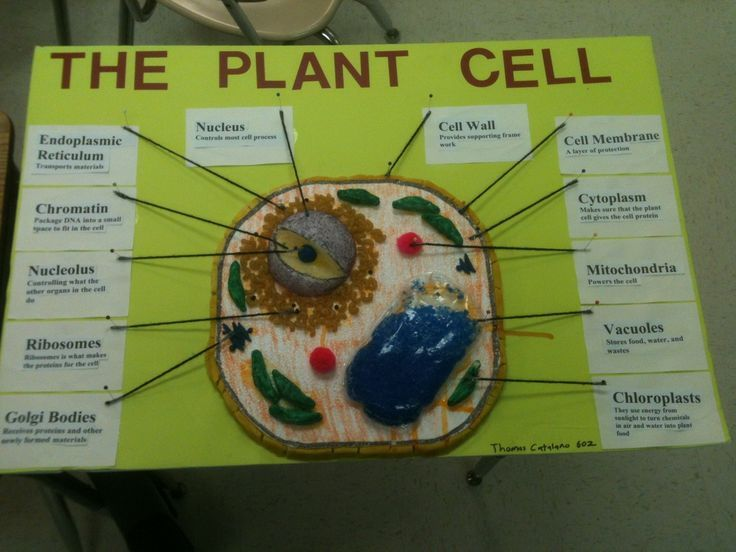 Plant Cell Model Project Materials | The Project