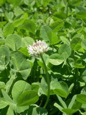 """I <3 the Taste of White Clover Tea, it also has several health benefits as well According to the """"Peterson Field Guide of Eastern/Central Medicinal Plants and Herbs"""" American Indians adopted leaf tea for colds, coughs , fevers and leukorrhea. In European folk medicine, flower tea is used for rheumatism and gout. Like Red Clover, White Clover contains the estrogenic isoflavone genistein, with a multitude of activities, including cancer-preventative and antioxidant activity."""