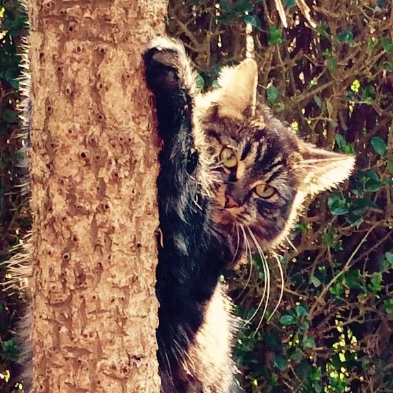 Nutmeg the lively #cat climbs a tree.   See the card made from this #photo at Thortful
