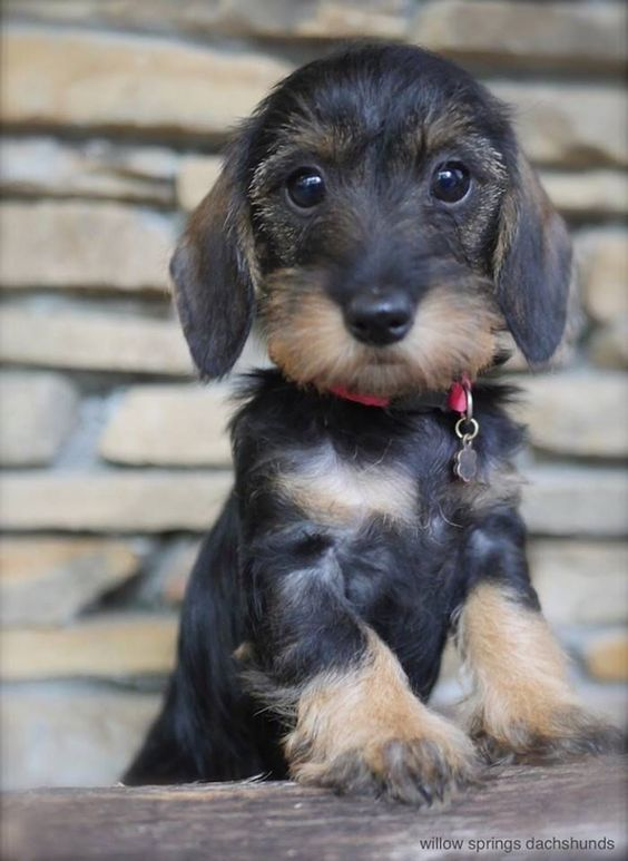Wirehaired Dachshund Puppy – Lindsey Hopkins