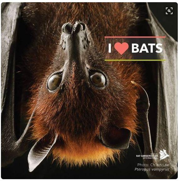 Flying Fox  Bat Conservation International