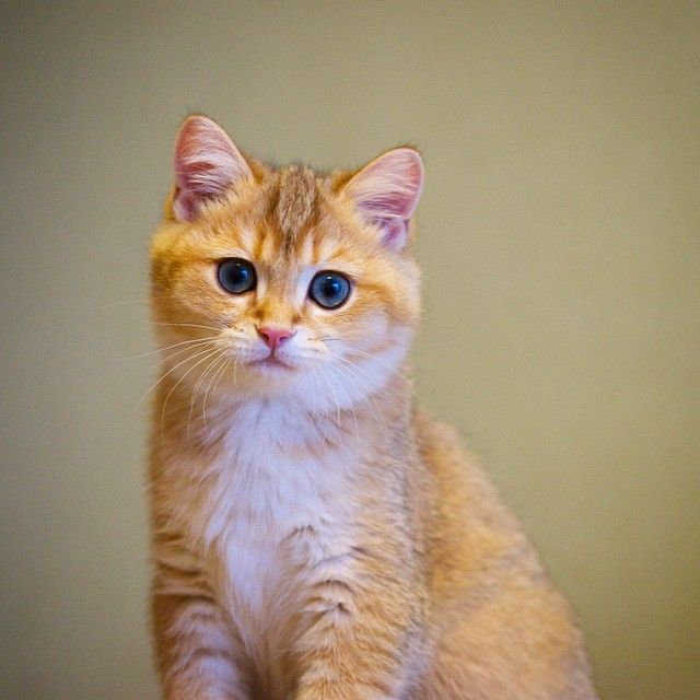 Best Hosico Cats Images On Pinterest Cats Adorable Animals - Hosico the cat is pretty much the real life puss in boots