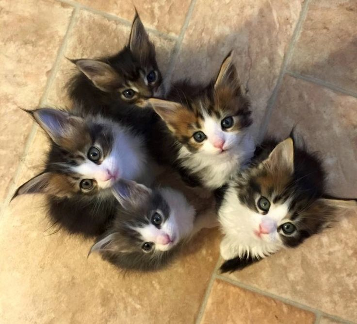 Oh look! It's a Maine Coon kitten convention!!