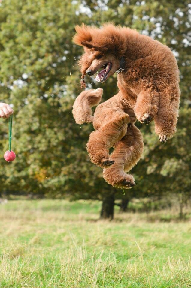 Poodle jump - Bogey can still do this!   Amazing, isn't it?