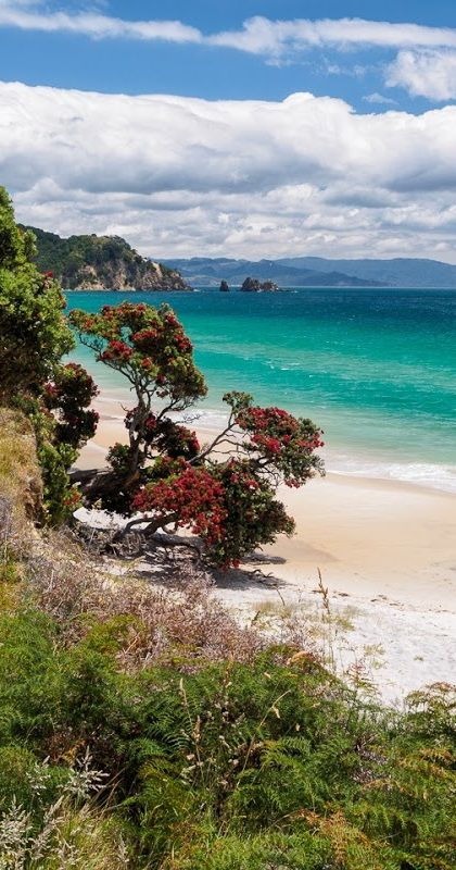 Pohutukawa tree in full bloom graces this pristine beach in New Zealand's Coromandel Peninsula