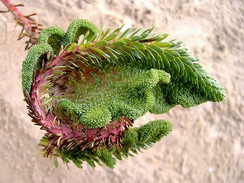 Fasciation - Beauty in deformity! by kittymax, via Flickr : Fasciation (plant pathology) : Malformation of plant parts resulting from disorganized tissue growth.