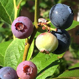 Blueberry Plants are either evergreen or deciduous, we look at how to grow Blueberries in the home garden, and varieties available for sale online.