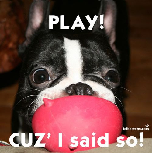 my boston does this all the time!