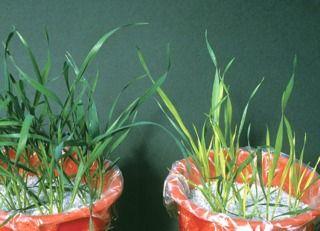 Carence en soufre sur graminée (blé) à droite