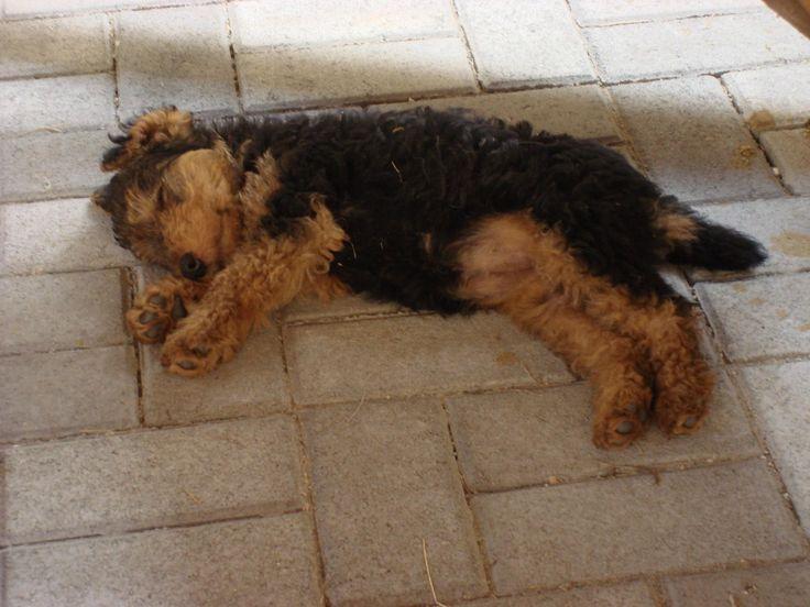 Zizi was 8 weeks old. Little Smurfette <3 Welsh terrier puppy