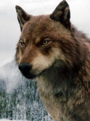 Quileute Tribe. Jacob Black as a Wolf.