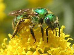 Sweat Bee - Augochloropsis metallica - (Metallic Green Bee) Metallic Green Bees