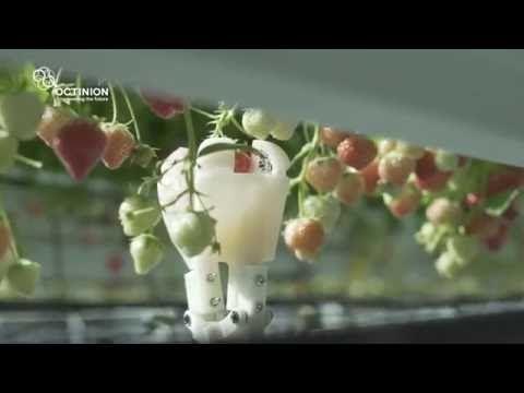 Belgian strawberry harvesting robot to enter greenhouses next year